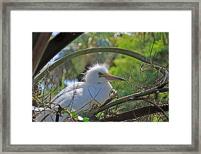 Young Great Egret Framed Print by Kenneth Albin