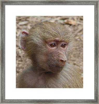 Young Hamadryas Baboon Portrait Framed Print by Margaret Saheed