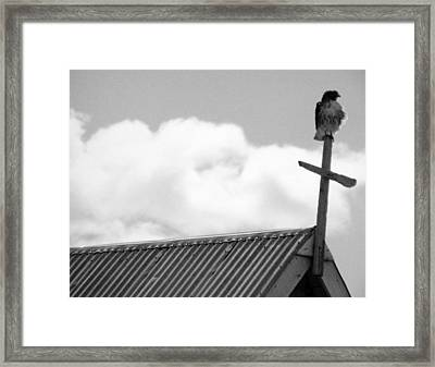 Young Hawk Framed Print
