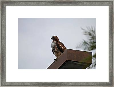 Young Hawk Framed Print by Jean Booth
