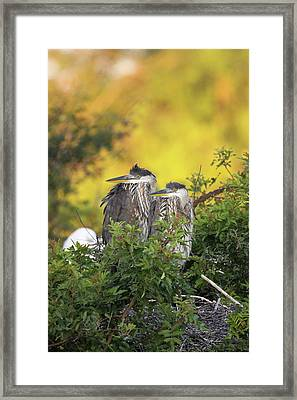 Young Herons Framed Print