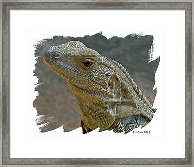 Young Iguana Framed Print