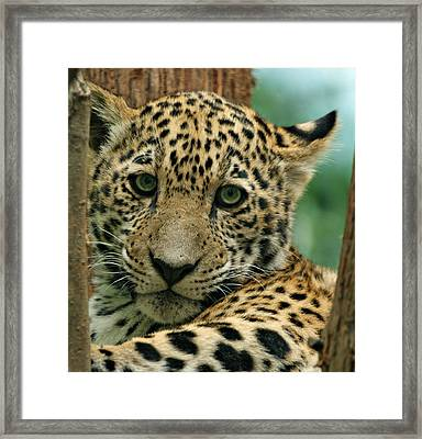 Young Jaguar Framed Print by Sandy Keeton
