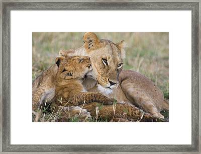 Young Lion Cub Nuzzling Mom Framed Print