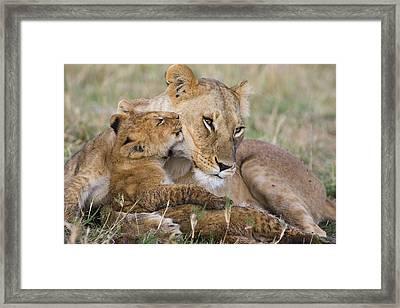 Young Lion Cub Nuzzling Mom Framed Print by Suzi Eszterhas