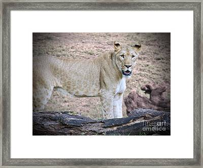 Young Lion Framed Print by Judy Kay