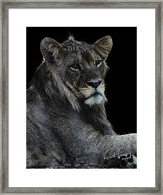 Young Lion Framed Print by Keith Lovejoy
