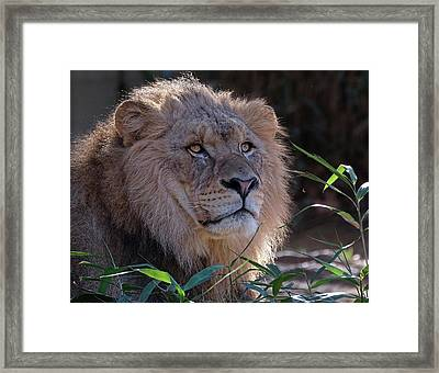 Young Lion King Framed Print by Ronda Ryan