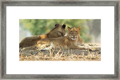 Young Lioness Framed Print by Yuri Peress