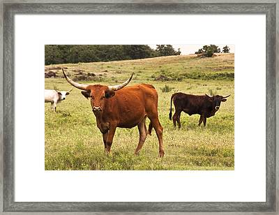 Young Longhorn Framed Print by Tamyra Ayles