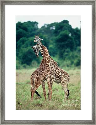 Young Male Giraffes Necking Framed Print by Greg Dimijian