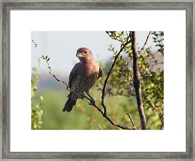Young Male House Finch Framed Print