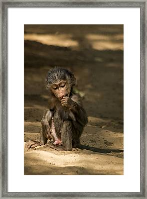 Young Monkey Framed Print by Paulo Goncalves