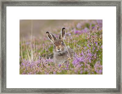 Young Mountain Hare In Purple Heather Framed Print