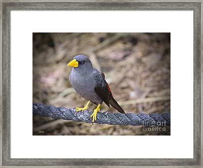 Young Myna Framed Print