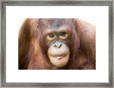 Young Orangutan Portrait Framed Print by John McQuiston
