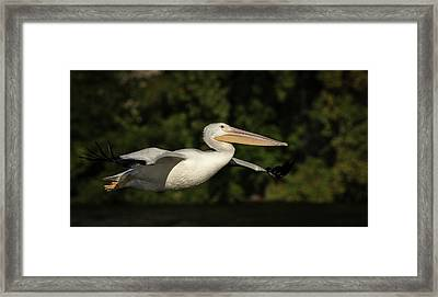 Young Pelican 2016-2 Framed Print by Thomas Young