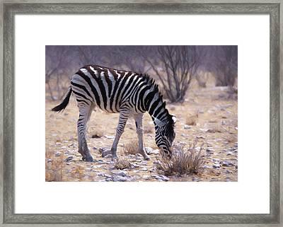 Young Plains Zebra Framed Print by Ernie Echols
