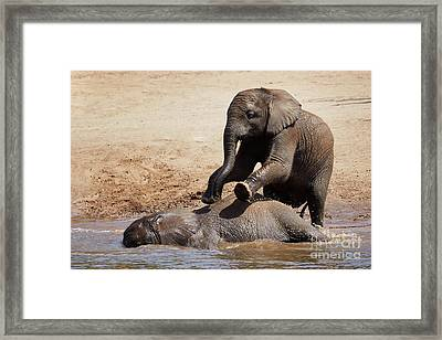 Framed Print featuring the photograph Young Playful African Elephants by Nick Biemans