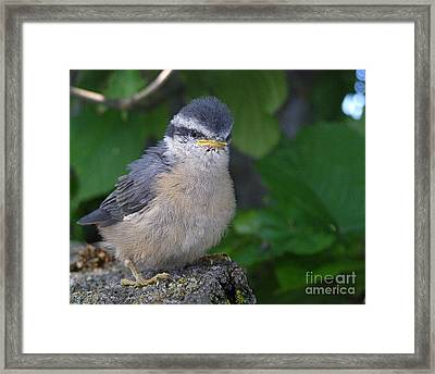 Framed Print featuring the photograph Young Red-breasted Nuthatch No. 1 by Angie Rea