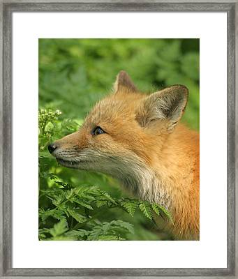 Framed Print featuring the photograph Young Red Fox In Profile by Doris Potter