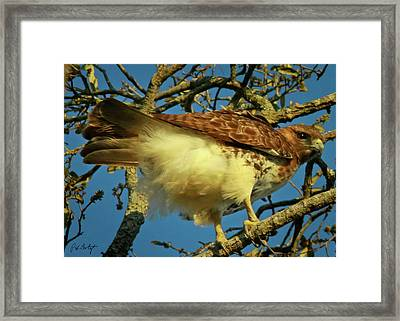 Young Red-tail Framed Print by Phill Doherty