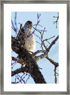 Young Red Tailed Hawk Framed Print by Natural Focal Point Photography