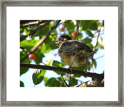 Framed Print featuring the photograph Young Robin by Angie Rea