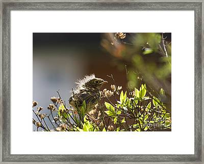 Young Robin Framed Print by Jane Rix