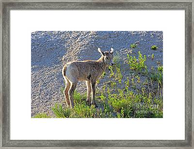 Young Rocky Mountain Bighorn Sheep Framed Print by Louise Heusinkveld