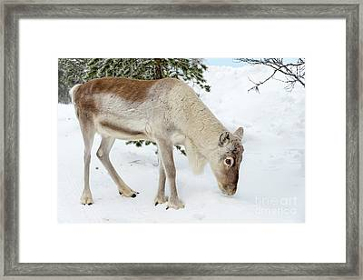 Framed Print featuring the photograph Young Rudolf by Delphimages Photo Creations