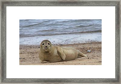 Young Seal Pup On Beach - Horsey, Norfolk, Uk Framed Print by Gordon Auld