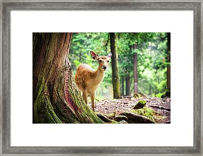 Young Sika Deer In Nara Park Framed Print