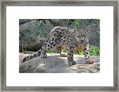 Young Snow Leopard Framed Print