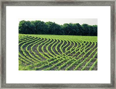 Young Soybean Plants Framed Print