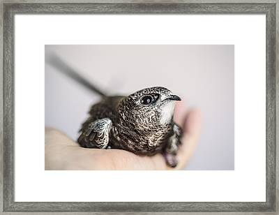 Young Swift Framed Print by Nailia Schwarz