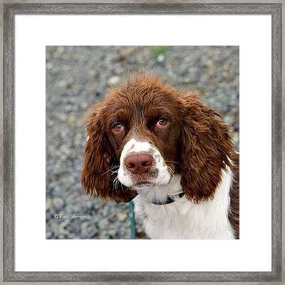 Young Water Spaniel Framed Print