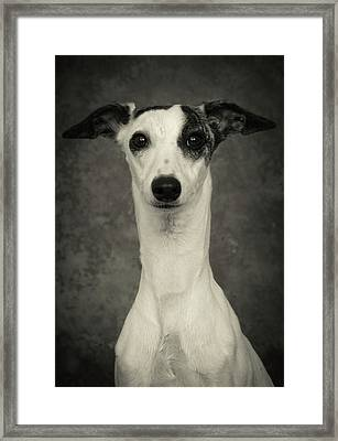 Young Whippet In Black And White Framed Print