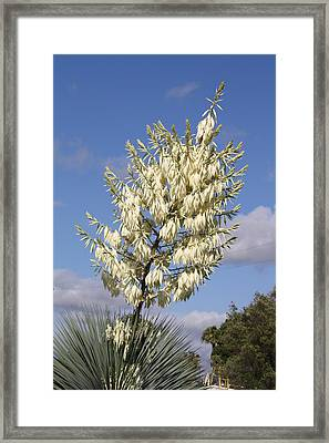 Yucca Flower Framed Print by Cumberland Warden