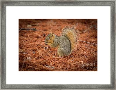 Yum Yum Nuts Wildlife Photography By Kaylyn Franks     Framed Print