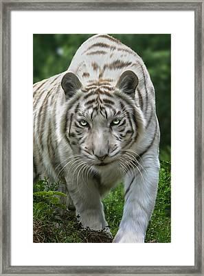 Zabu Framed Print by Big Cat Rescue