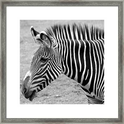 Zebra - Here It Is In Black And White Framed Print