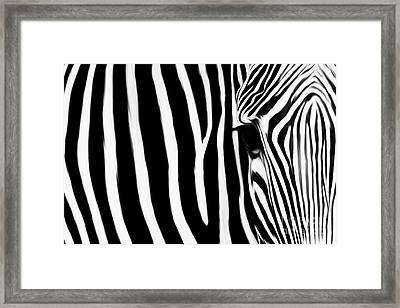 Zebra 032 Framed Print by Gull G