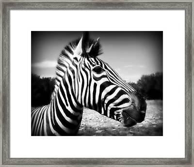 Zebra 2 Framed Print by Perry Webster