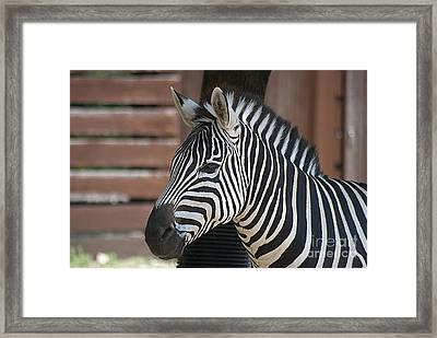 Framed Print featuring the photograph Zebra 20120718_150a by Tina Hopkins