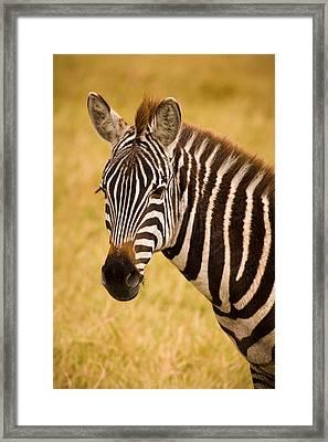 Zebra Framed Print by Adam Romanowicz