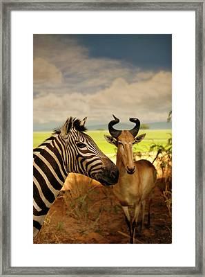 Zebra And Antelope Framed Print by Marilyn Hunt