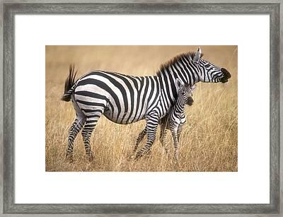 Zebra And Foal Framed Print by Johan Elzenga