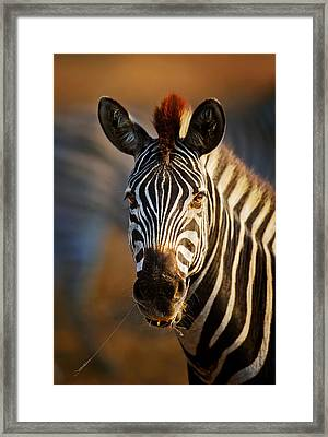 Zebra Close-up Portrait Framed Print