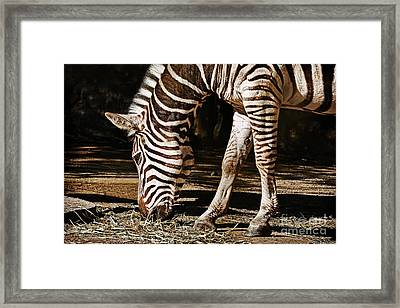 Zebra Eating By Kaye Menner Framed Print